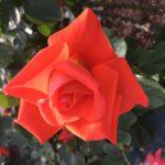 バラに魅せられて、、、@生田緑地バラ苑